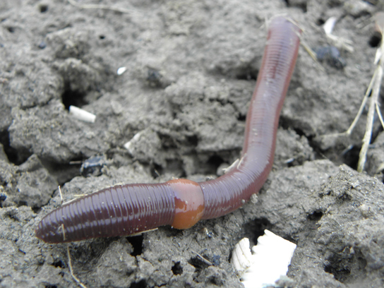 The clitellum is a swollen, smooth section of the earthworm.