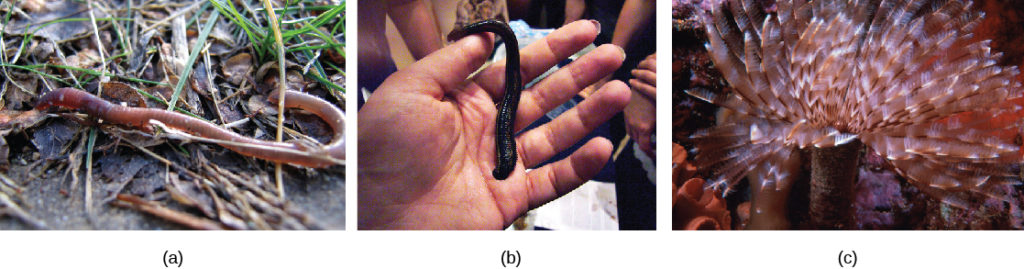 Part a shows an earthworm, and part b shows a large leech trying to latch onto a person's hand. Part c shows a worm on that is anchored to the ocean floor. Featherlike appendages extend from the tube-like body.