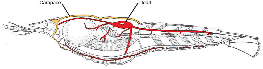 An illustration of a midsagittal cross section of a crayfish shows the carapace around the cephalothorax, and the heart in the dorsal thorax area.