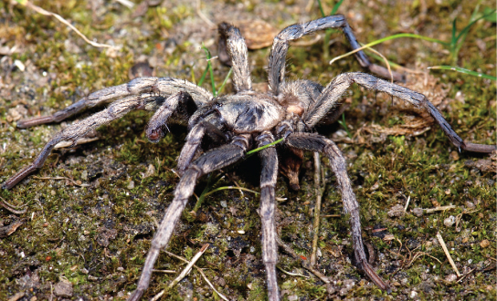 The photo shows a spider with a thick, hairy body and eight long legs.