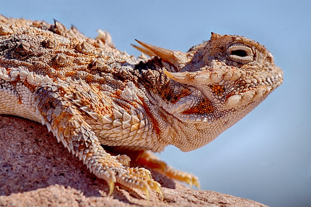 a horned lizard sitting on a rock basking in the sun