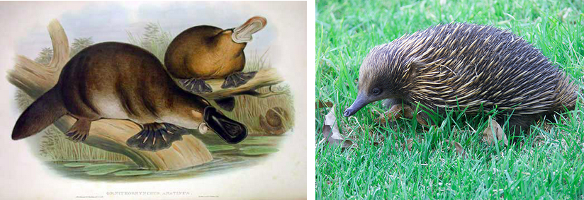 These illustrations show two short-haired mammals (platypus and echidna) with webbed feet, flat tails and a flat snout.