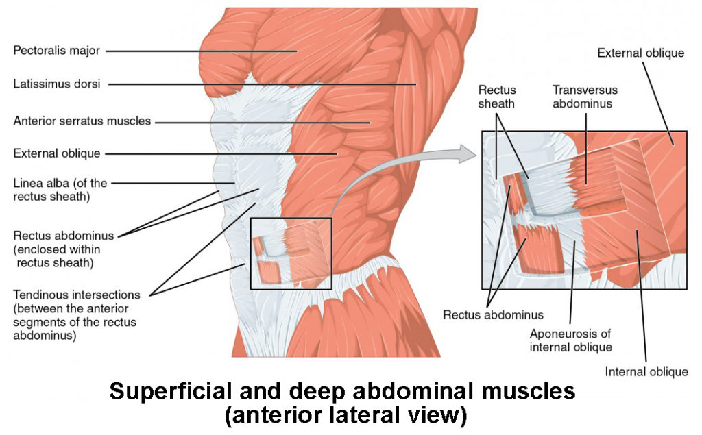 The lateral view of the superficial and deep abdominal muscles.