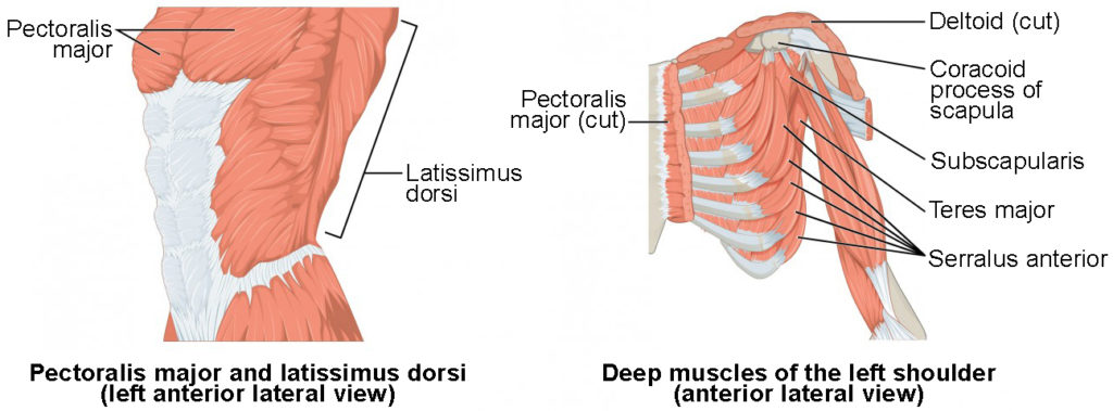 The left panel shows the lateral view of the pectoral and back muscles, and the right panel shows the anterior view of the deep muscles of the left shoulder