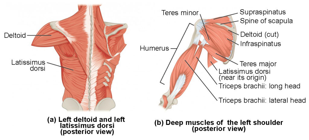 The left panel shows the posterior view of the right deltoid and the left back muscle, and the right panel shows the deep muscles of the left shoulder.