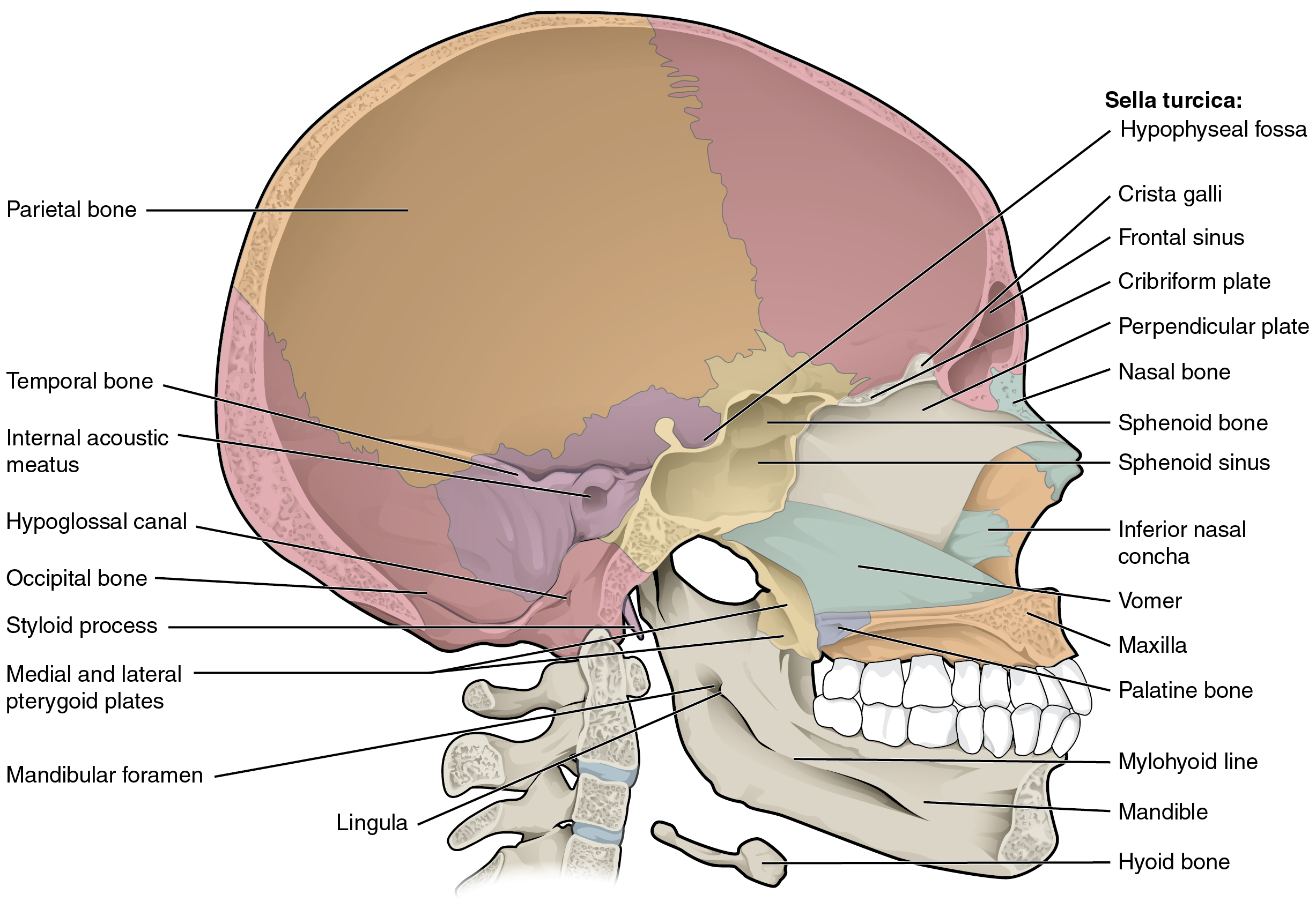 This diagram shows the sagittal section of the skull and identifies the major bones and cavities.