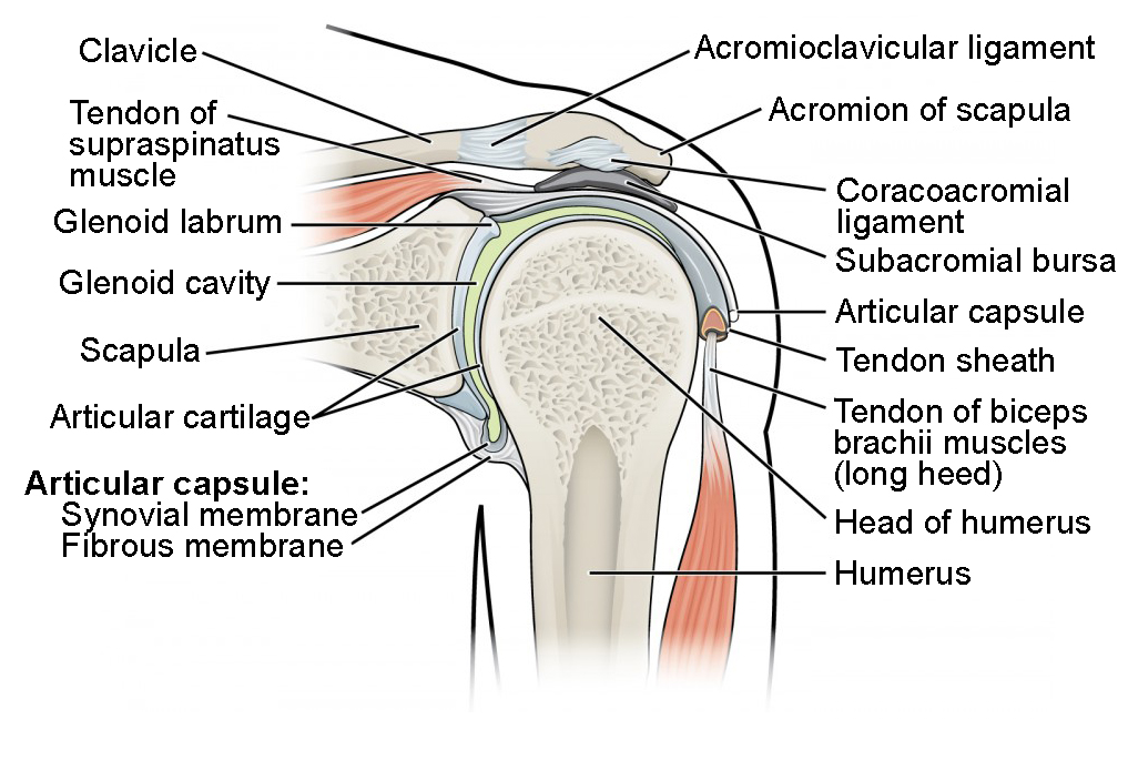 Shoulder Articulation Diagram - All Kind Of Wiring Diagrams •