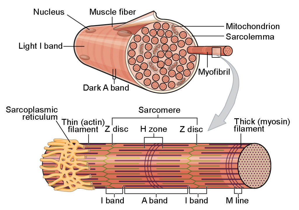 Skeletal Muscle Anatomy And Physiology I