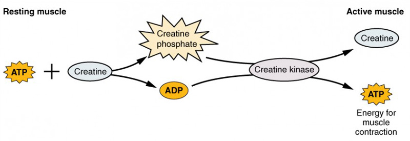 creatine phosphate function