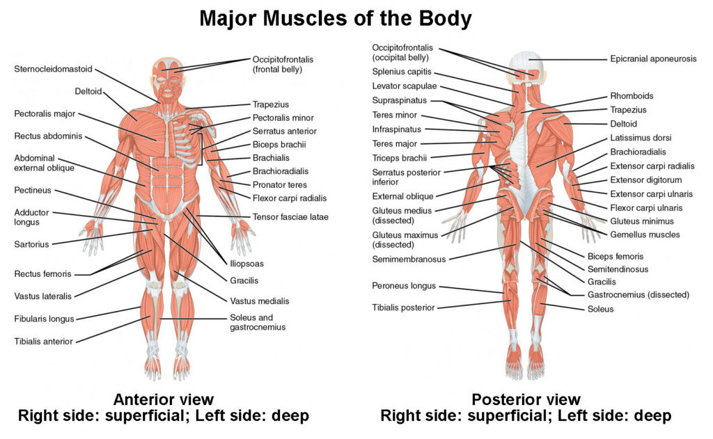 Naming Skeletal Muscles | Lifetime Fitness and Wellness