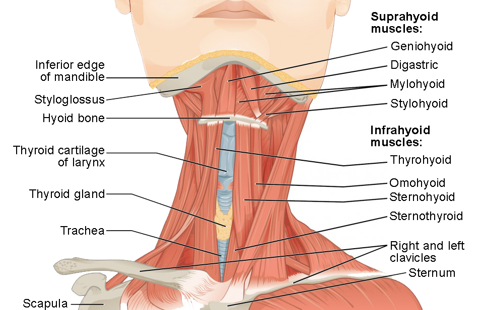 Axial Muscles of the Head, Neck, and Back | Anatomy and Physiology ILumen Learning