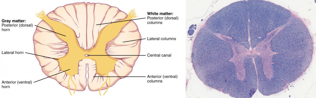 This figure shows the cross section of the spinal cord. The top panel shows a diagram of the cross section and the major parts are labeled. The bottom panel shows an ultrasound image of the spinal cord cross section.