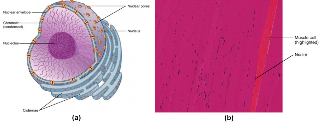 Figure (a) shows the structure of the nucleus. The nucleolus is inside the nucleus, surrounded by the chromatin and covered by the nuclear envelope. Micrograph (b) shows a muscle cell with multiple nuclei.
