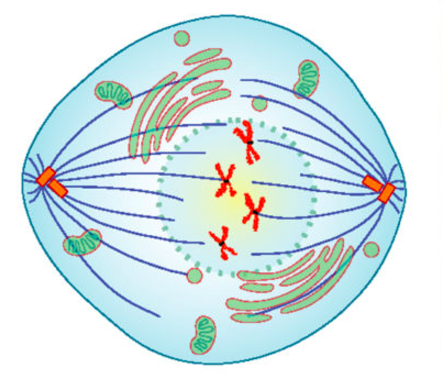 An artist's rendering of a cell in prometaphase. Mitotic spindles are visible, and centrosomes are moving toward opposite poles.