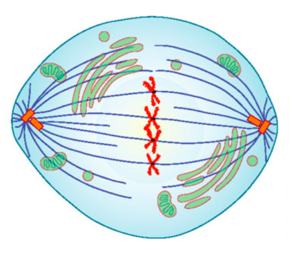 An artist's rendering of a cell in metaphase. Mitotic spindles are clearly visible and chromosomes are lined up.