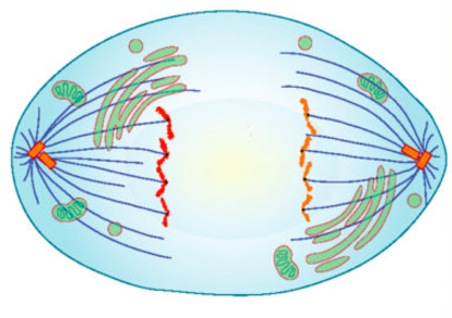 An artist's rendering of a cell in anaphase.