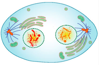 An artist's rendering of a cell in telophase.