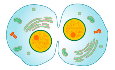 An artist's rendering of an animal cell undergoing cytokinesis. The two daughter cells can clearly be seen dividing.