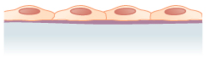 the cells are flattened and single-layered