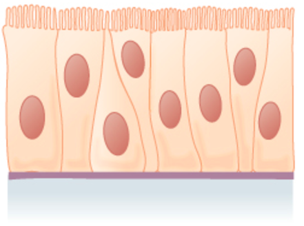 the cells are column-like in appearance, but they vary in height. The taller cells bend over the tops of the shorter cells so that the top of the epithelial tissue is continuous. There is only one layer of cells