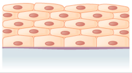 many layers of flattened cells