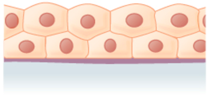 contains many layers of cube-shaped cells