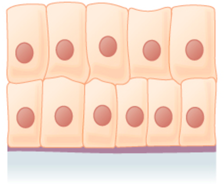many layers of rectangular, column-shaped cells