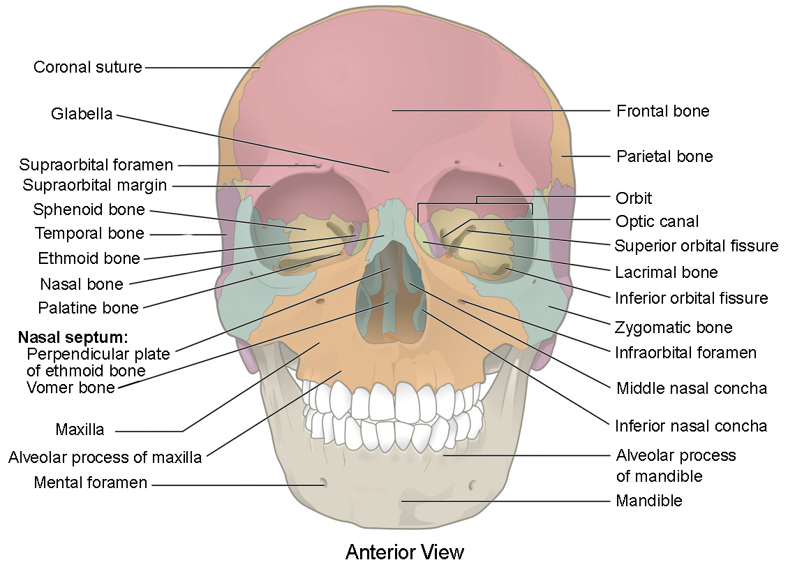 The Skull Anatomy And Physiology I