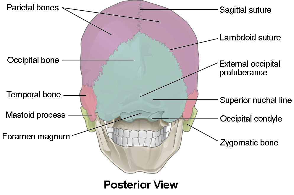 this figure shows the posterior view of the skull and the major parts are  labeled