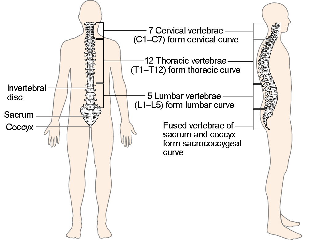 The Vertebral Column | Anatomy and Physiology I
