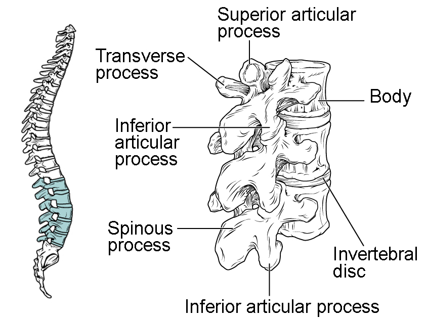 axial skeleton traverse process diagram