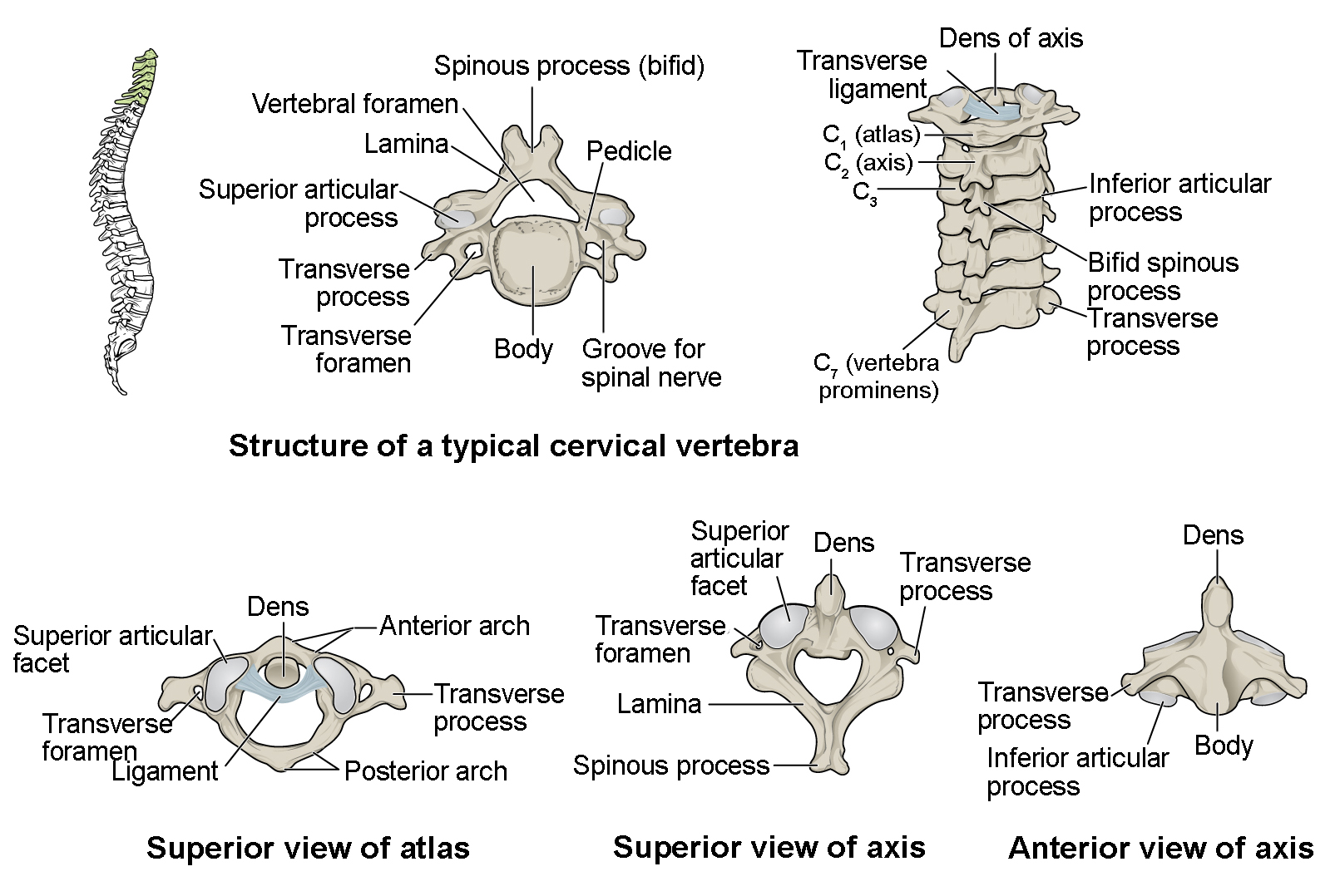 The Vertebral Column Anatomy And Physiology I