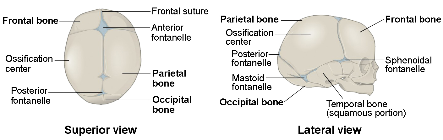 Embryonic Development of the Axial Skeleton | Anatomy and Physiology I