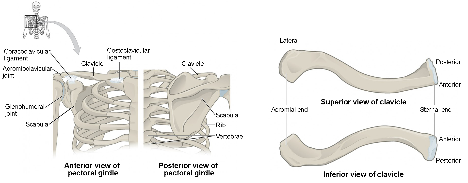 The Pectoral Girdle Anatomy And Physiology I