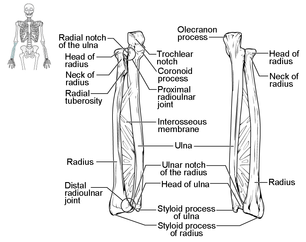 radius and ulna unlabeled