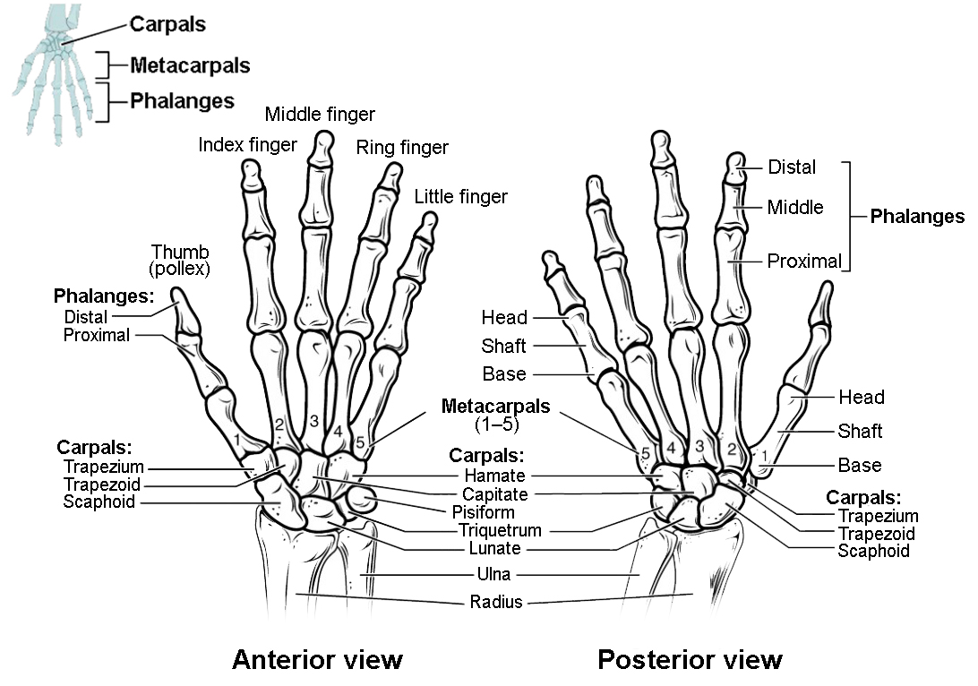 Bones of the Upper Limb | Anatomy and Physiology I