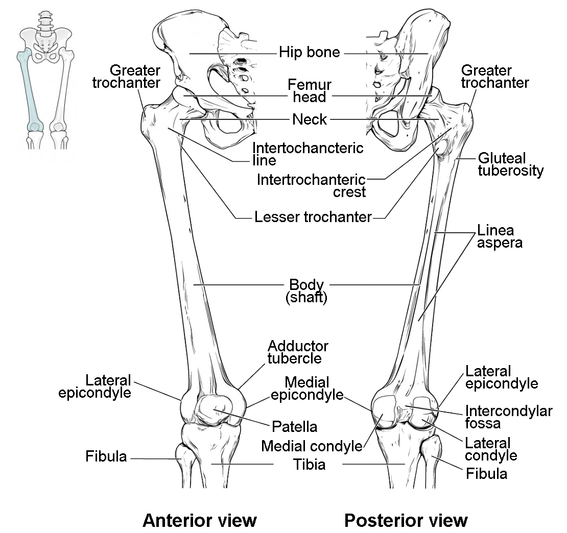 tibia fibula bone diagram wiring diagrams Fibula Bone Anatomy Diagram
