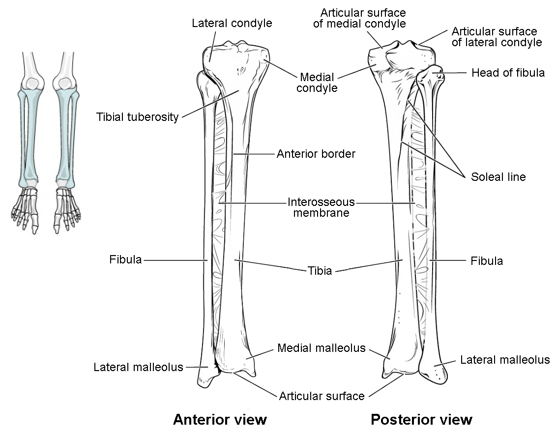 bones of the lower limb anatomy and physiology i Fibula Bone Anatomy Diagram