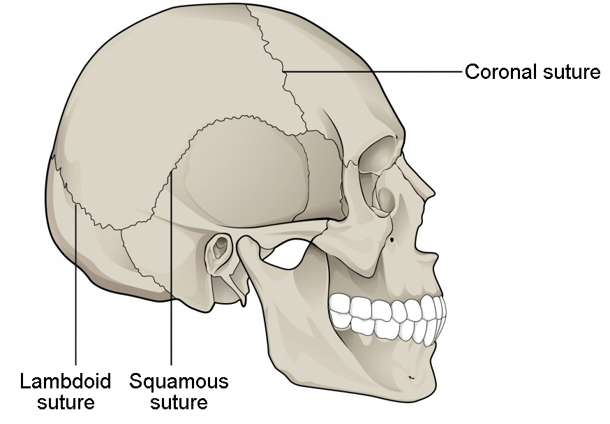 This image shows the lateral view of the human skeleton. The lambdoid, coronal, and squamous sutures are labeled.