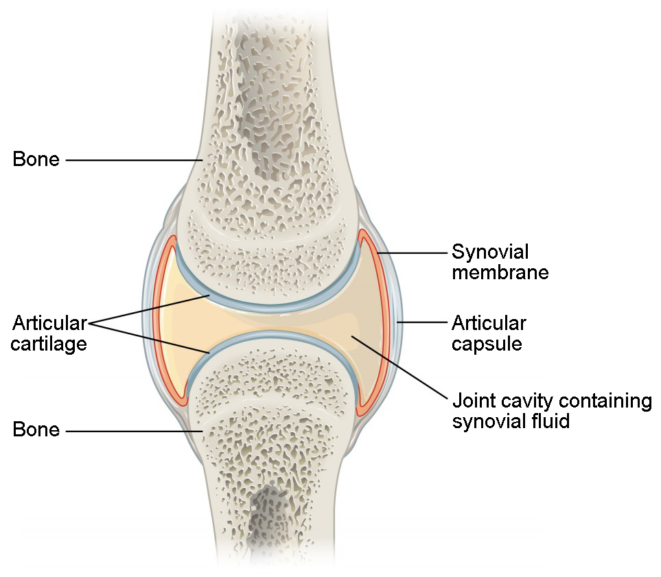 This figure shows a synovial joint. The cavity between two bones contains the synovial fluid which lubricates the two joints.