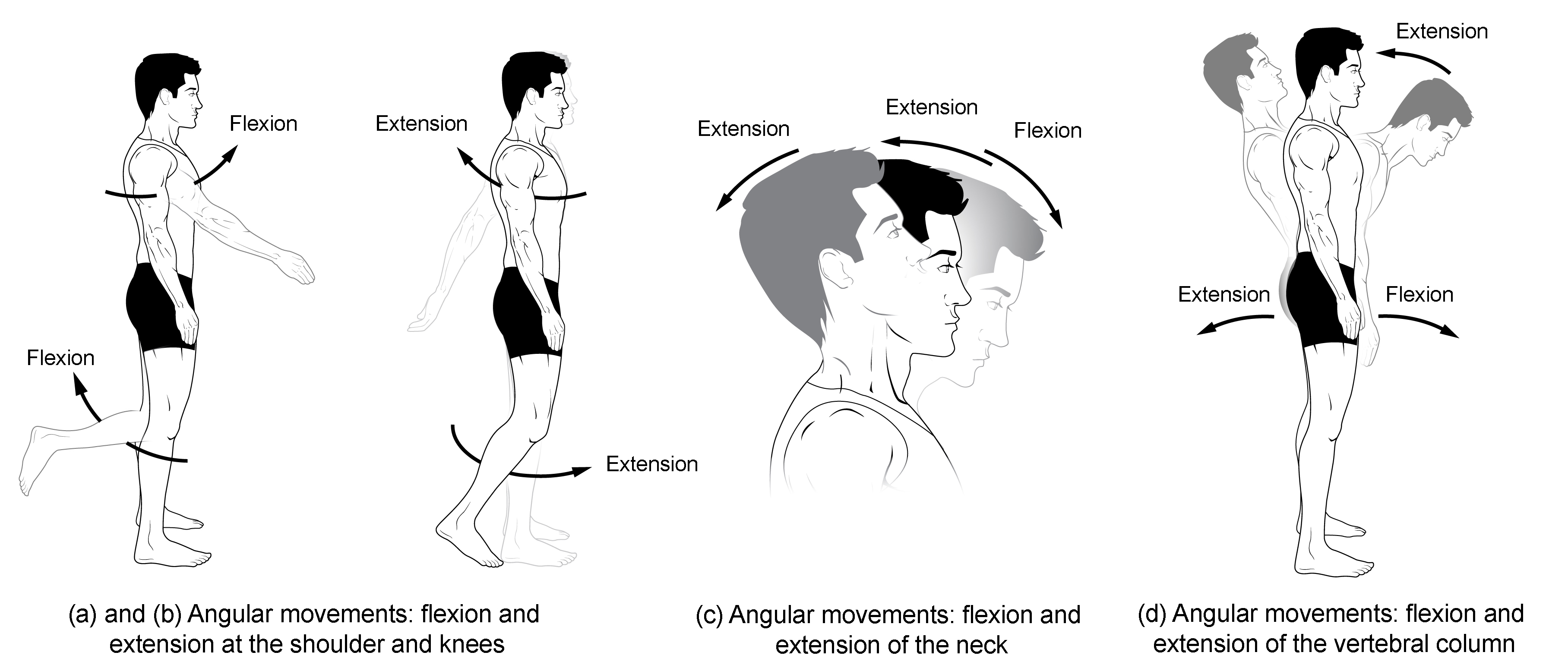 types of body movements anatomy and physiology i