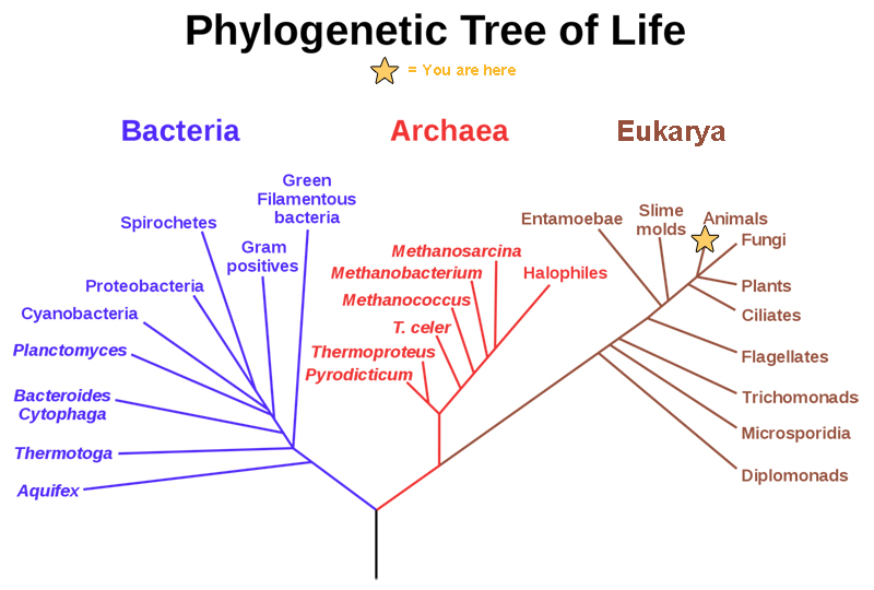 A rooted phylogenetic tree resembles a living tree, with a common ancestor indicated as the base of the trunk. Two branches form from the trunk. The left branch leads to the domain Bacteria. The right branch branches again, giving rise to Archaea and Eukarya. Smaller branches within each domain indicate the groups present in that domain.