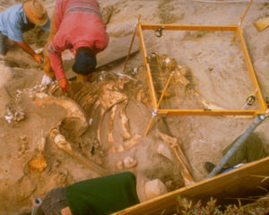 Photograph shows scientists digging pygmy mammoth skeleton fossils from the ground.