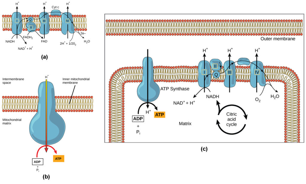 Part a: This illustration shows the electron transport chain embedded in the inner mitochondrial membrane. The electron transport chain consists of four electron complexes. Complex I oxidizes NADH to NAD+ and simultaneously pumps a proton across the membrane into the intermembrane space. The two electrons released from NADH are shuttled to coenzyme Q, then to complex III, to cytochrome c, to complex IV, then to molecular oxygen. In the process, two more protons are pumped across the membrane into the intermembrane space, and molecular oxygen is reduced to form water. Complex II removes two electrons from FADH2, thereby forming FAD. The electrons are shuttled to coenzyme Q, then to complex III, cytochrome c, complex I, and molecular oxygen as in the case of NADH oxidation. Part b: This illustration shows an ATP synthase enzyme embedded in the inner mitochondrial membrane. ATP synthase allows protons to move from an area of high concentration in the intermembrane space to an area of low concentration in the mitochondrial matrix. The energy derived from this exergonic process is used to synthesize ATP from ADP and inorganic phosphate. Part c: This illustration shows the electron transport chain and ATP synthase enzyme embedded in the inner mitochondrial membrane, and the citric acid cycle in the mitochondrial matrix. The citric acid cycle feeds NADH and FADH2 into the electron transport chain. The electron transport chain oxidizes these substrates and, in the process, pumps protons into the intermembrane space. ATP synthase allows protons to leak back into the matrix and synthesizes ATP.