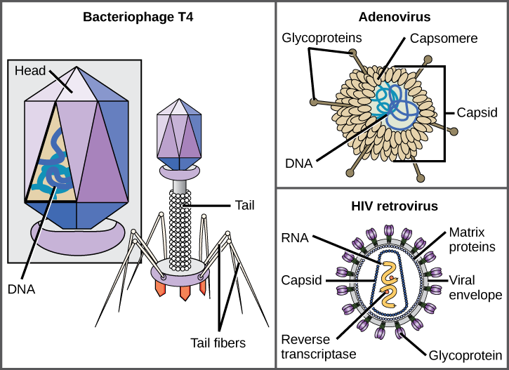 Illustration a shows bacteriophage T4, which houses its DNA genome in a hexagonal head. A long, straight tail extends from the bottom of the head. Tail fibers attached to the base of the tail are bent, like spider legs. In b, adenovirus houses its DNA genome in a round capsid made from many small capsomere subunits. Glycoproteins extend from the capsomere, like pins from a pincushion. In c, the HIV retrovirus houses its RNA genome and an enzyme called reverse transcriptase in a bullet-shaped capsid. A spherical viral envelope, lined with matrix proteins, surrounds the capsid. Glycoproteins extend from the viral envelope.