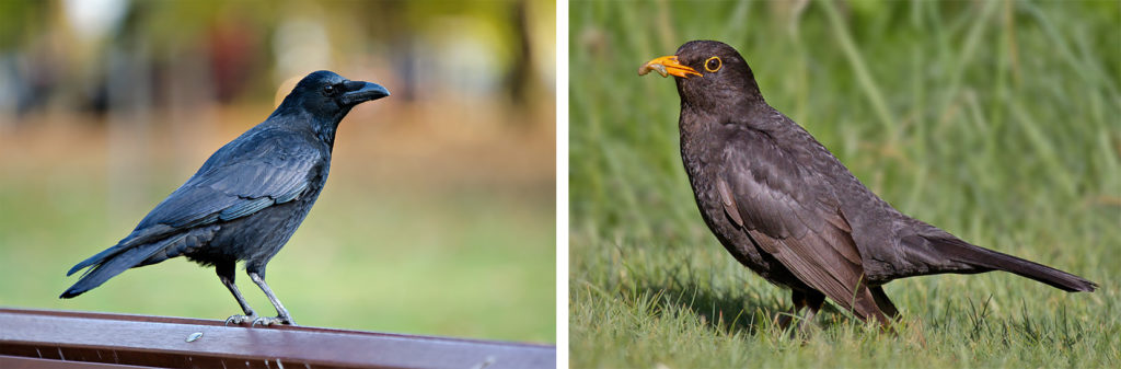 two photographs; one of a crow the other of a blackbird.
