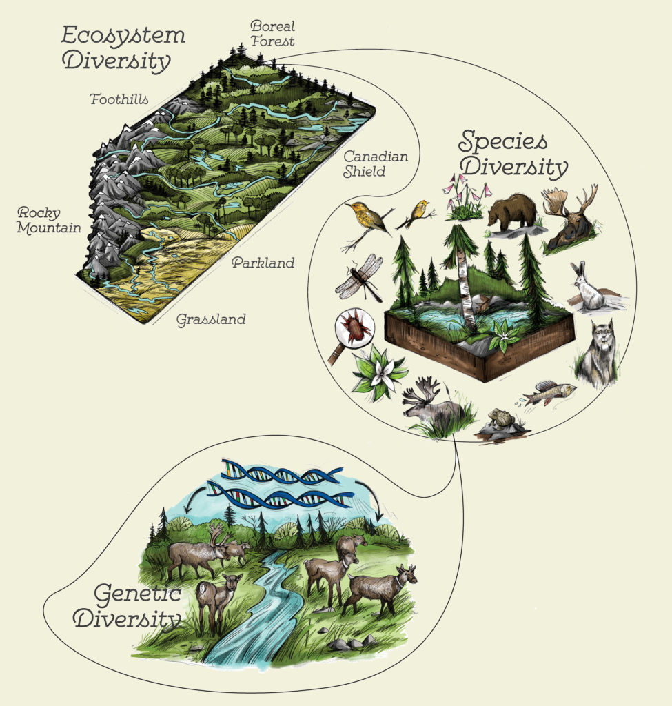 Diagram of many different deer around a river labeled Genetic Diversity, many different plants, animals, fish, bugs around a forest labeled Species Diversity, many differently ecosystems (ie.e Grassland, Rocky Mountains, Boreal Forest) and everything they contain with mountains and streams labeled Ecosystem Diversity.
