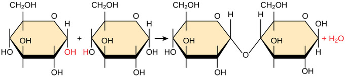 definition of dehydration synthesis Dehydration synthesis, or a dehydration reaction, is a chemical reaction associated with the loss of a water molecule between two compounds dehydration.