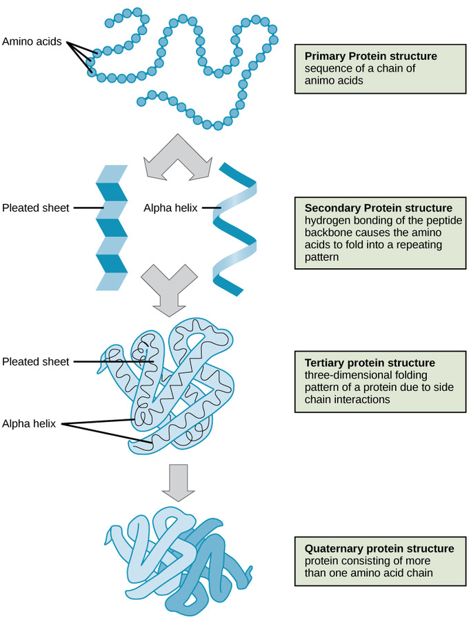 Proteins Boundless Biology