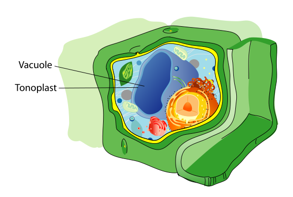 Plant Vacuoles | Plant Cell
